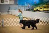 AKC Dog Show Grays Harbor Fairgrounds-1
