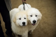 AKC Dog Show Grays Harbor Fairgrounds-28
