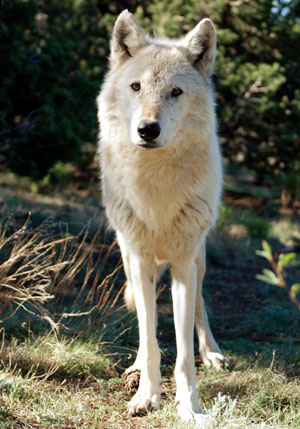 North cascades national park and its. Graywolfconservation Com Gray Wolf Subspecies