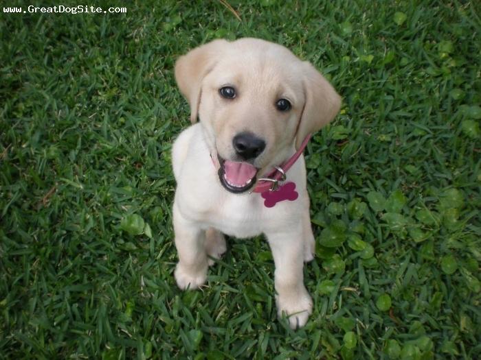 Labrador Retriever Picture Pet Experience
