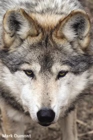 MexicanGrayWolf-Mark Dumont-SM