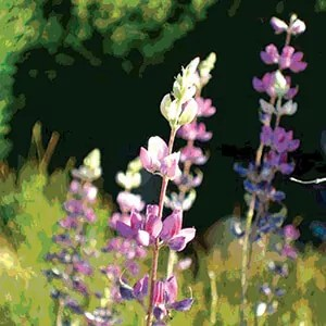 Lupine wildflowers