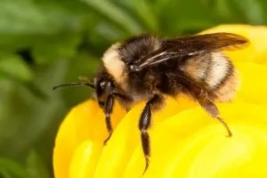bombus_occidentalis_0