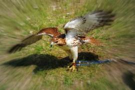 ren-fair-hawk