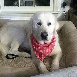 Pita Great Pyrenees Rescue Of Atlanta