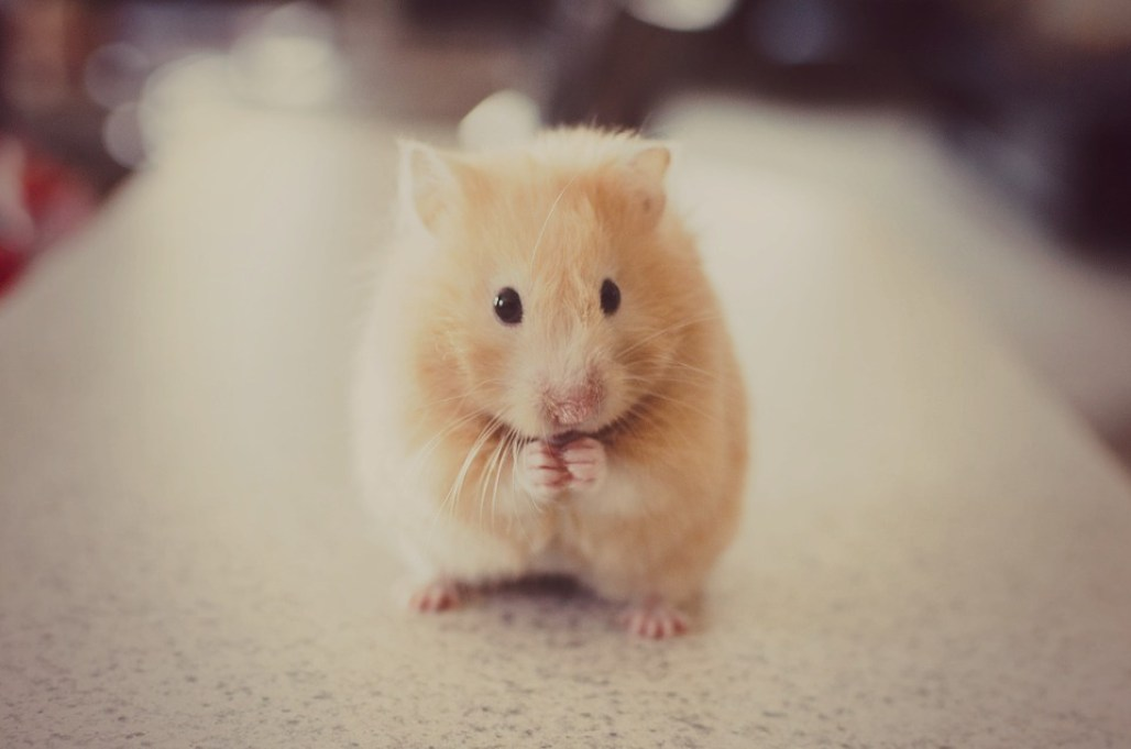 Rat Top 10 Cleverest Animals In The World 2020 by greattopten.com