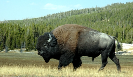 Bisons get massive in the Yellowstone Park