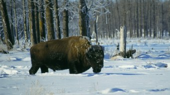 Buffalo in the Canadian winter