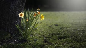 daffodils-beginning-to-bloom