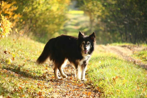 border-collie sheepdog