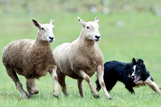 sheep dog herding, ireland, county kerry