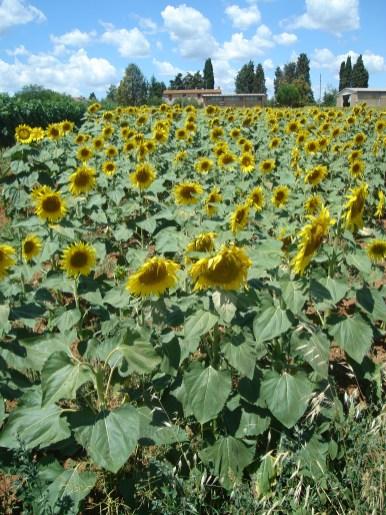 Sunflowers, Tuscany, Monteriggioni
