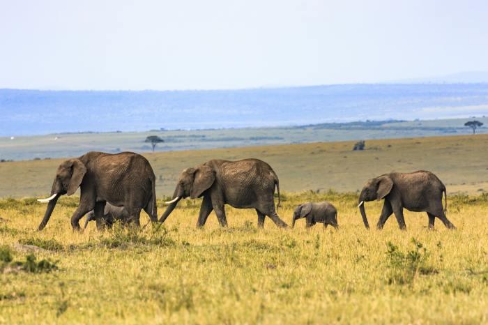 elephant, tanzania, safari, africa