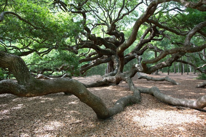 angel oak tree charleston south carolina