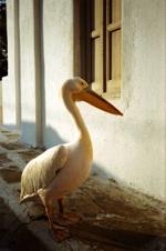 mykonos_pelican_greece_1181935_l2