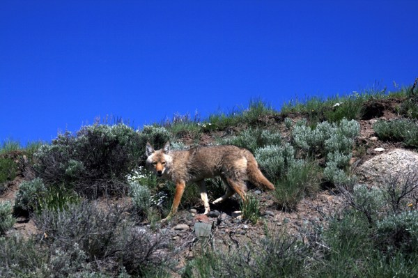 Coyote_in_Yellowstone_national_park