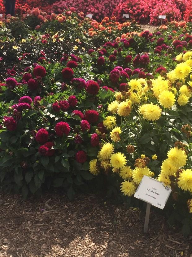 Dahlias at the CSU Annual Flower Trial Garden in 2019.
