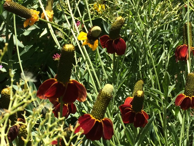 Mexican hat flowers in Greeley