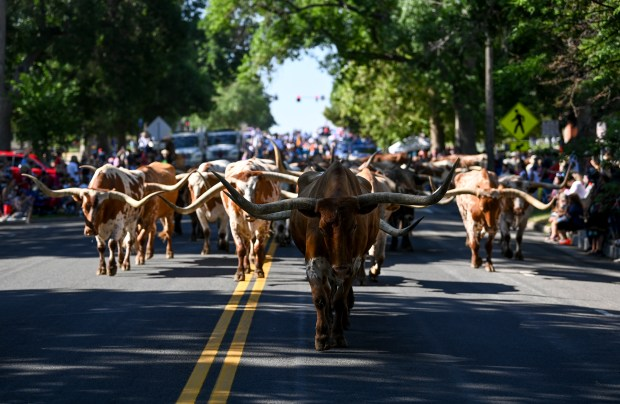 GREELEY, CO - JULY 03:A group of longhorn cattle walk north on 10th Avenue near the University of Northern Colorado during the Independence Day Parade in Greeley July 3, 2021. The parade, held on July 3 this year because the 4th fell on a Sunday, draws thousands to watch each year. (Alex McIntyre/Staff Photographer)