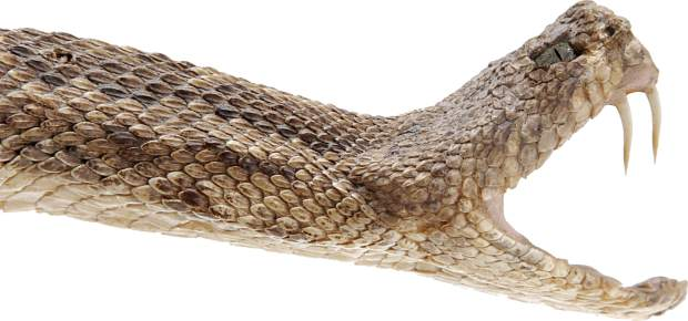 Prairie rattlesnakes are active this time of year and are prevalent in northern Colorado. The bites tend to be very painful, and some people may experience nausea, difficulty breathing or disturbed vision.