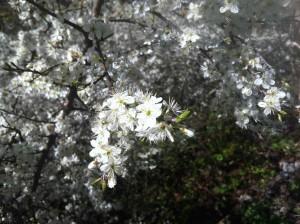 Fleur prunelle1