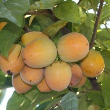 Englands-Orchard-Nursery