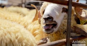 2016-06-romanian-live-exports-sheep-in-pen
