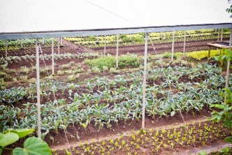 Area where Romaine lettuce and Tuscan kale are grown.