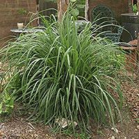 Σιτρονέλλα (Cymbopogon citratus)