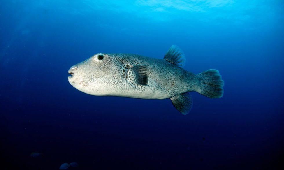 Similan Island Puffer Fish