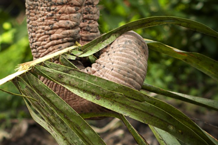 An Elephant eating in Khao Lak