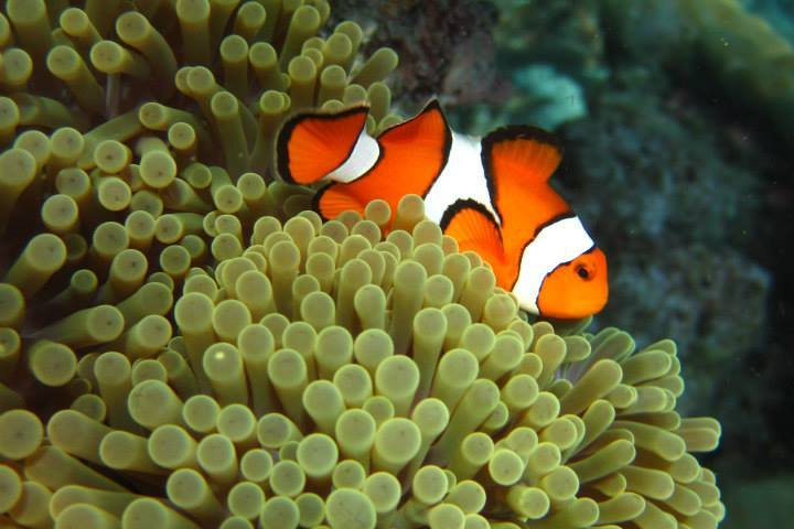 Finding nemo in the similan islands from a snorkel liveaboard