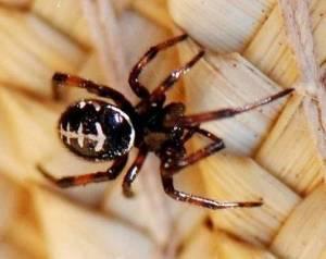 018-family-theridiidae-steatoda-paykulliana