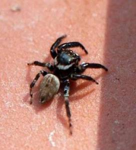 021-family-salticidae-jumping-spider