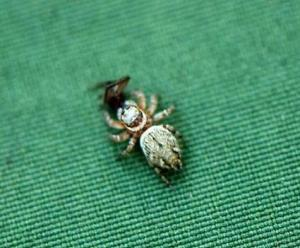 029-family-salticidae-jumping-spider