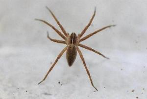 113-family-pisauridae-pisauria-mirabilis-not-sure