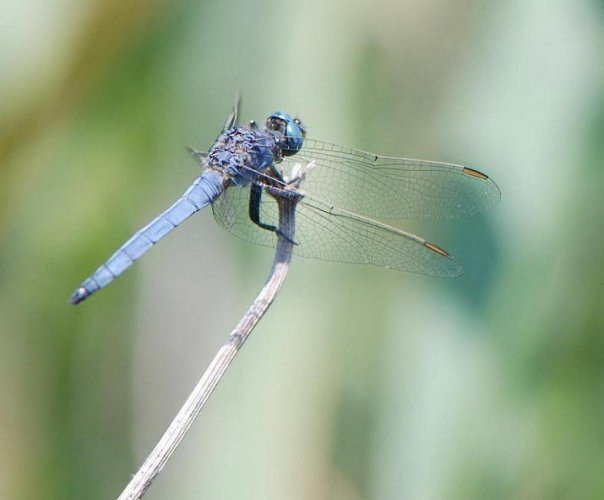 Blue-grey dragonfly on Corfu