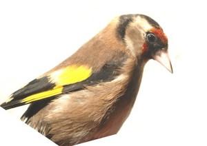 eur-goldfinch