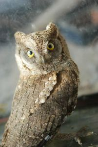 scops-owl-otus-scops