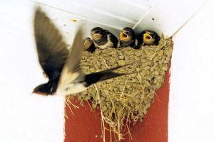 swallows-nest