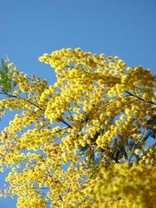zt_mimosa-on-corfu