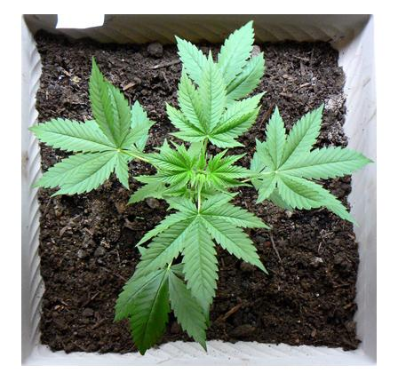 Stellar Cannabis plants