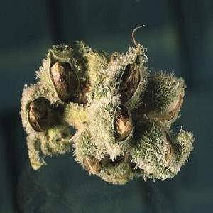 marijuana seeded crops