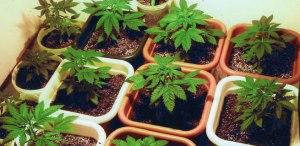 marijuana nutrients