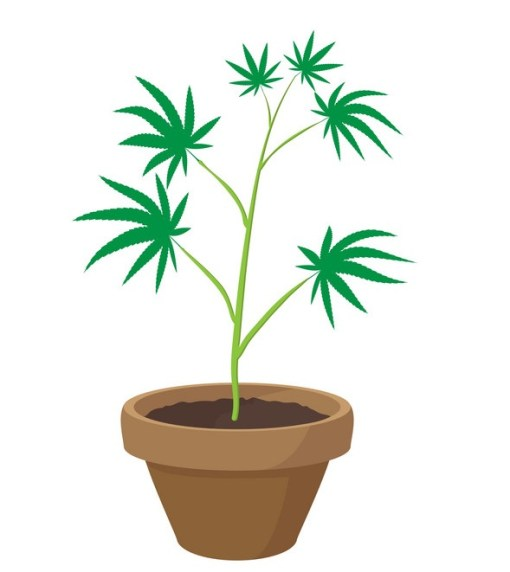 Transplanting-Cannabis