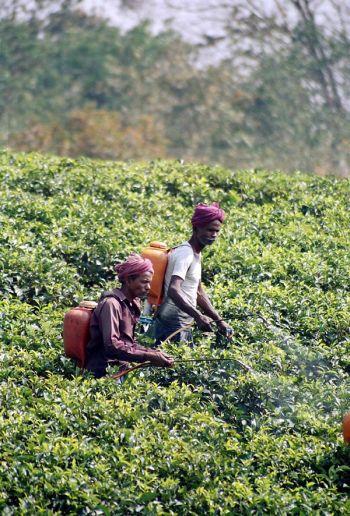 helping tea plantations bloom