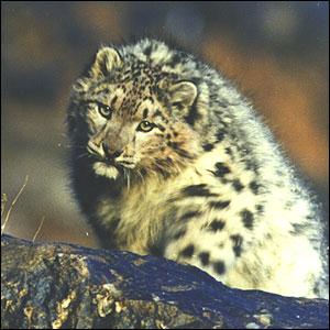 leopard300 45