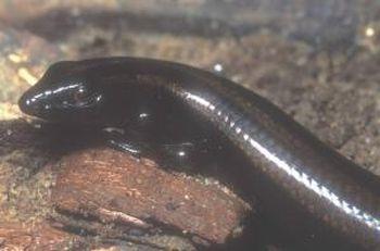 new species of lizard found in borneo 9