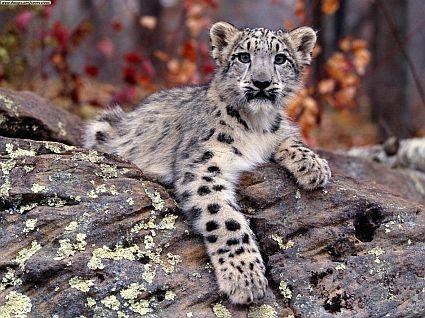 snow leopard cub 45