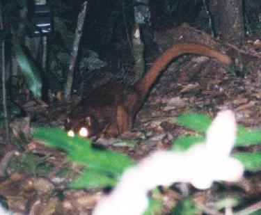 the borneo forest creature